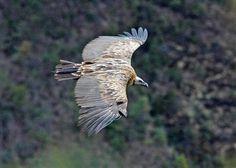 Himalaya Vulture (Gyps himalayensis), Sagarmatha National Park, Nepal | GRID-Arendal - Environmental Photo Library