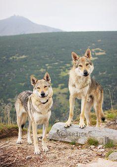 Czechoslovakian Wolfdogs and Czech Mountain by Czertice.deviantart.com on @deviantART
