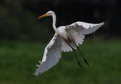 Egret,   Flickr - Photo Sharing!