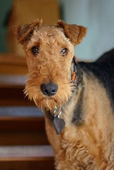 Interested in a terrier? We have information about terrier dog breeds here! Airedale Terrier, Welsh Terrier, Pitbull Terrier, Perros Bull Terrier, Chien Bull Terrier, Terrier Dog Breeds, Fox Terrier, Scottish Terrier, Terriers