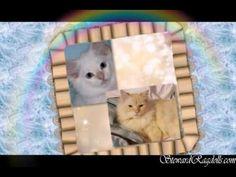 Steward Ragdoll Kittens  http://www.facebook.com/steward.ragdolls