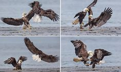Magnificent bald eagles wage war in mid-air as one bird of prey swoops in to steal fish from the talons of another