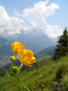 Wild Flower in the Swiss Alps