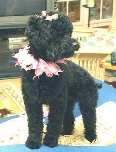 My poodle