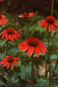 Buy coneflower Echinacea Sundown (PBR) (Big Sky Series) - Brilliant orange, daisy-like flowers.: pot: Delivery by Crocus Prairie Garden, Border Plants, Hardy Perennials, Evening Sky, Plant Nursery, Big Sky, Drought Tolerant, Orange Flowers, Green Leaves