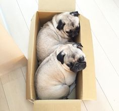 *clicks buy now + express express delivery* / pug