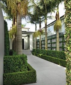 The approach features box hedging and orange jessamine (Murraya paniculata) around the trunks of the bangalow palms, with a grid of star jasmine (Trachelospermum jasminoides) on the wall behind.