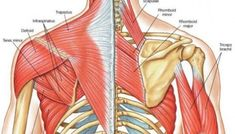 Muscle Identification Arm Muscle Anatomy, Winged Scapula, Shoulder Anatomy, Arm Muscles, Human Anatomy, Lessons Learned, Health, Muscles Of The Arm, Human Body Anatomy