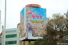 King Cherry Blossom @ Jeju City  www.RadiantFitAndHappy.com  ⭐️⭐️ www.SkincareInKorea.info Jeju City, Self Driving, Incheon, Filming Locations, South Korea, Cherry Blossom, Scenery, King, Landscape