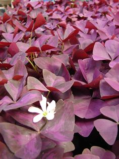 Oxalis from Julie's garden but my flowers are pink. Got it in 2011