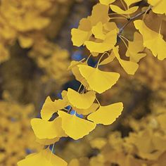 GINKGO BILOBA - Maidenhair Tree - LEAVES ARE USED TO ENHANCE MEMORY - 4 - Year Tree Japanese Maples and Evergreens