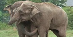 This freed elephant has the reunion of a lifetime.