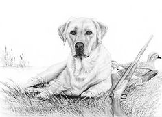 A632061680: Anticipation-Yellow Lab Dog Drawing by Karen Olsen