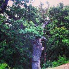 500 years old oak in Letea forest, Danube delta Danube Delta, Plants, Planters, Plant, Planting