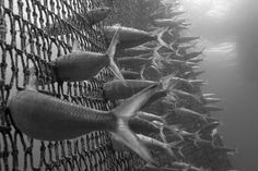Credit: Angel M. Fitor/GDT Man and Nature category, highly commended: Marine Harvest by Angel M Fitor (dead sardines  caught in a net as bycatch)