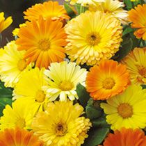Calendula Seeds - Daisy Mix - 107135 - View All Flower Seeds - Flower Seeds - Gardening