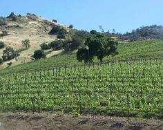 A view of our Hillside vineyard
