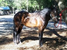 5ddc4dbbd4a17 Florida Cracker Horse. The Florida Cracker Horse is a breed of horse from  Florida in