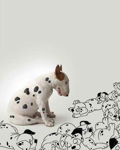 Jimmy the bull terrier