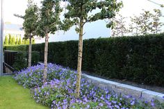 Pleached trees, yew-hedge, low wall and Geranium 'Rozanne' in abundance. Design by Christiane von Burkersroda