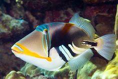 Best Aquarium Fish, Saltwater Aquarium Fish, Underwater Creatures, Ocean Creatures, Aquariums, Tang Fish, Sea Fish, Fish Ocean, Fish Fish