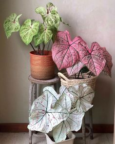 Caladium Miss Muffet, Spring Fling and Cranberry Star – Best Garden Plants And Planting House Plants Decor, Plant Decor, Garden Plants, Indoor Plants, Indoor Gardening, Air Plants, Cactus Plants, Inside Plants, Cool Plants