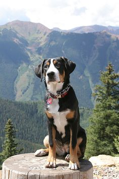 Greater Swiss Mountain Dog... Like a Bernese but less hairy! Only 130 pounds full grown... imagine how much he could carry while backpacking!