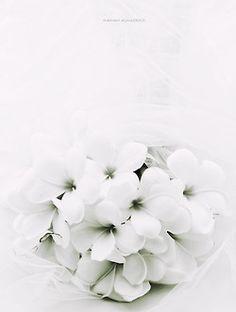 lovemewhite:  white promise by ~vi-ol-et