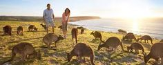 Image result for are there kangaroos in cape vert