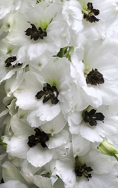 Delphinium 'Black-Eyed Angels'