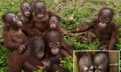 Family photo... orang-utan style! Adorable pictures of orphaned apes who have learned to love each other as brother and sister #DailyMail