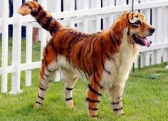 Dog dressed as tiger