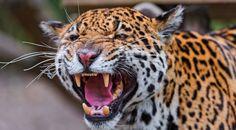 Animales sagrados para las culturas prehispánicas:ocelótl en náhuatl, balám en maya