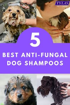 Find out if your dog can benefit from these top anti-fungal dog shampoos. They are able to help in the treatment of Fungal or bacterial infections, allergies and viral complaints. #dogs #doggrooming #antifungaldogshampoo #dogshampoo Dog Dental Care, Pet Care, Medicated Dog Shampoo, Diy Dog Shampoo, Dry Flaky Skin, Bacterial Infection, Kittens And Puppies, Shampoos, Pet Grooming