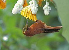 Male Juan Fernandez Firecrown (Sephanoides fernandensis)