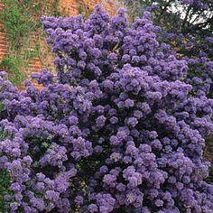 Buy Californian lilac Ceanothus Puget Blue - Fabulous deep blue flowers: 2 litre pot: Delivery by Crocus Garden Of Eden, Dream Garden, Planting Plan, Beach Gardens, Flowering Shrubs, Garden Borders, House Front, Deep Blue, Blue Flowers