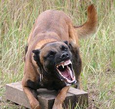 Belgian Malinois...military police dogs
