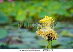 Old lotus pistil with blurry nature background