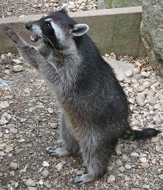File:Raccoon (Procyon lotor) 4.jpg - Wikimedia Commons