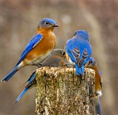 I had never seen real bluebirds until I moved to Cali. <3