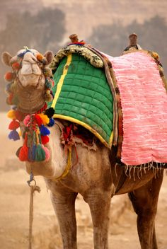Sometimes camels just look so happy... #JetsetterCurator