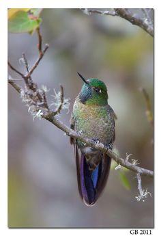 #263: Scaled Metaltail Hummingbird