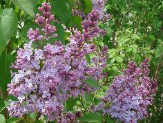 Syren blommar på årsskotten och beskärs direkt efter blomningen. Beskärning del 1