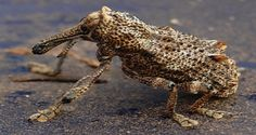 ------------------------- ------------------------- image source Orthorhinus cylindrirostris, commonly known as the Elephant Weevil, is a species of Curculionidae. In Australia they are considered a major pest to wine companies. Color and size are extremely variable...