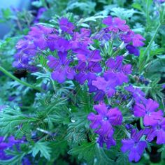 Alfa img - Showing > Perennial Verbena Plants