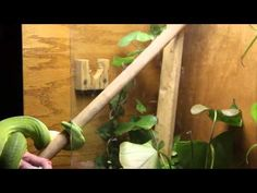 How not to feed a green tree python