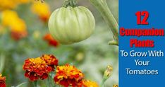 Some people believe in tomato companion plants and others think it is some old wives tale. Growing friendly plants together is said to help growth, produce more flavor and protect fruits and vegetables from insects and pests. Companion planting has long been a practice of experienced gardeners. There is also a great deal of scientific …