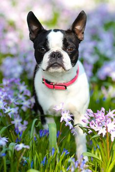 Boston Terrier in blossoms.