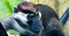 Cherry Crowned Mangabey Monkey. Taken from http://www.findfast.org/