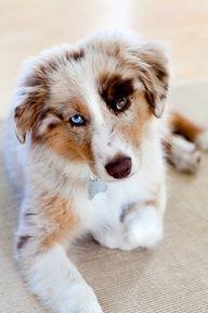 Australian shepherd. Love the eyes!!!